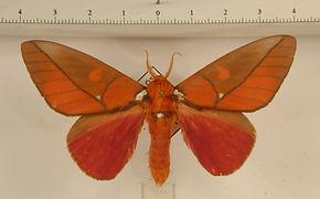 Schausiella polybia mâle