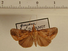 Hypena glumalis mâle