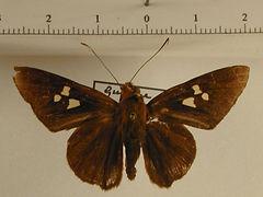 Carystoides cathaea mâle