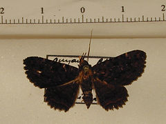 Pseudyrias olearos femelle