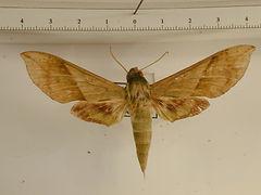 Xylophanes tyndarus mâle