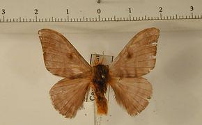 Hylesia indurata mâle
