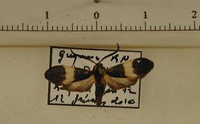 Correbidia notata mâle