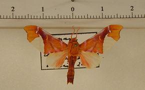 Zaevius calocore mâle
