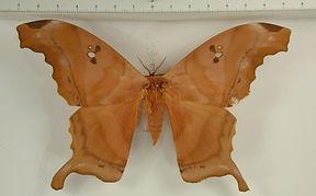 Titaea tamerlan amazonensis mâle