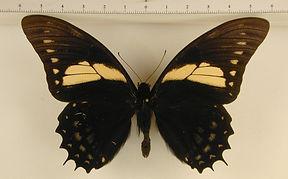 Pterourus menatius menatius mâle
