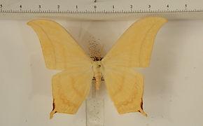 Therinia buckleyi buckleyi mâle