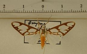 Robinsonia sanea mâle