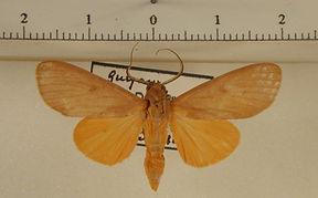 Glaucostola flavida mâle