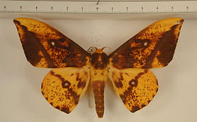 Eacles guianensis mâle