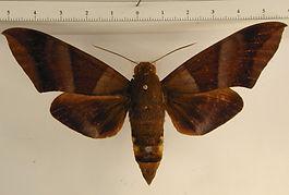Oryba achemenides mâle