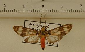 Heliura zonata mâle