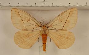 Pseudodirphia obguyana mâle