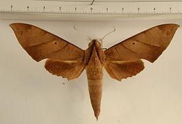 Pachylia darceta mâle
