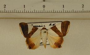 Eulepidotis rectimargo mâle