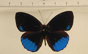 Eunica sophonisba sophonisba mâle