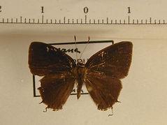 Theclinae sp3 mâle