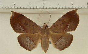 Argidia hypoxantha mâle