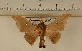 Cicinnus eugenia mâle