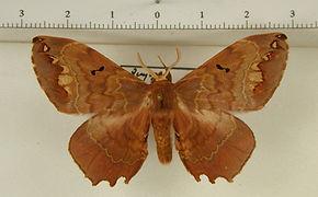 Phiditia maculosa mâle