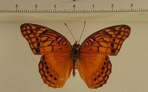 Euptoieta hegesia hoffmanni mâle
