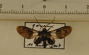 Telioneura jocelynae mâle