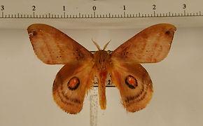 Automerina cypria mâle