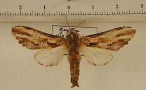 Pentobesa aroata mâle