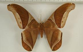 Rhescyntis hippodamia hippodamia mâle