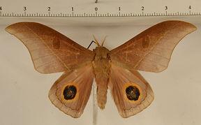 Leucanella maasseni mâle