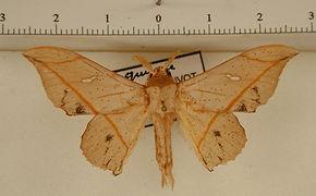 Bedosia balca mâle