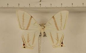 Therinia geometraria mâle