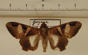 Melipotis fasciolaris mâle
