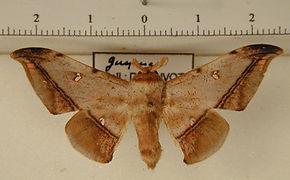 Cicinnus fogia mâle