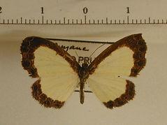 Nymphidium menalcus mâle