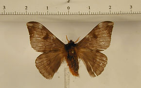 Hylesia canitia mâle