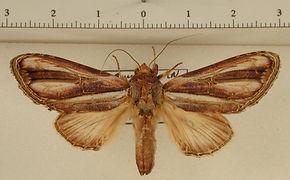 Draudtargia picta mâle