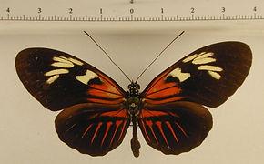 Heliconius melpomene thelxiopea mâle
