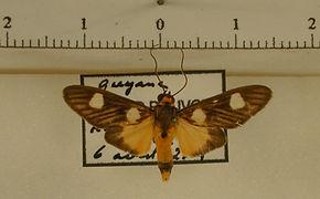 Glaucostola binotata mâle