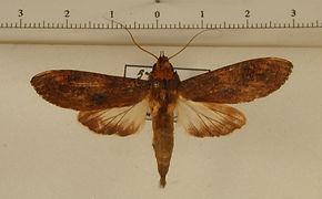 Nystalea superciliosa mâle