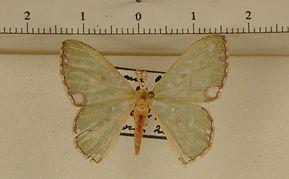 Oospila marginata mâle