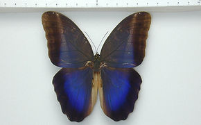 Caligo suzanna mâle