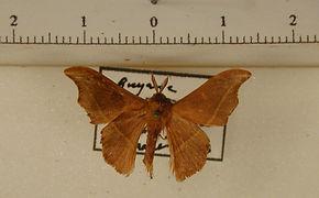 Lacosoma valva mâle