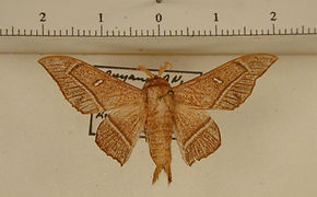 Bedosia trailii mâle
