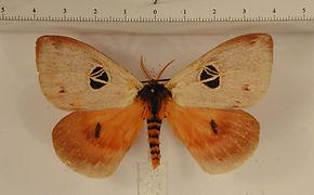 Dirphia tarquinia mâle