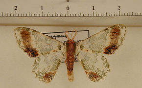 Lophochorista ockendeni mâle