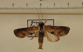 Marthula grisescens mâle