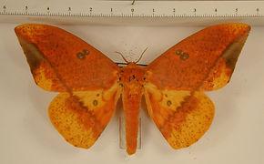 Eacles ormondei peruviana mâle