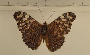 Hamadryas iphtime mâle
