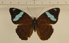 Nessaea obrinus obrinus femelle